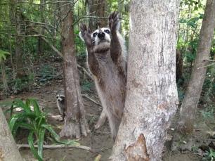 Raccoon near Slidell, La