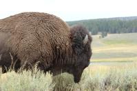 Buffalo, Yellowstone National Park, WY